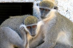 Two monkeys Royalty Free Stock Images