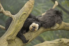 Two monkeys resting. Male and female monkeys resting on a tree branch in the rain forest Stock Photo