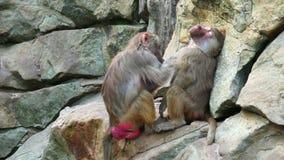 Two monkeys stock footage