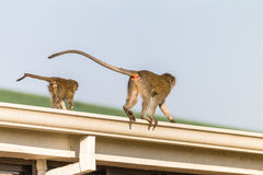 Monkeys Mother Junior Animals Royalty Free Stock Photos
