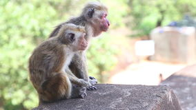 Two monkeys in Sigiriya, an ancient palace located in the central Matale District. stock video footage
