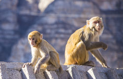 Two monkeys. Sit on the wall stock photos