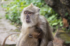 Two monkeys. Sitting at the entrance to the temple Royalty Free Stock Photo