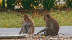 Two monkeys sitting on the ground eating food at the Khao Kheow Open Zoo. Thailand. Two monkey sit on the cement terrace stock video