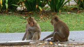 Two monkeys sitting on the ground eating food at the Khao Kheow Open Zoo. Thailand. Two monkeys sitting on the ground eating food. Two monkey sit on the cement stock video