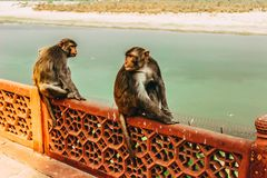 Two monkeys sitting on the metallic bridge fence looking back with a river in the background royalty free stock photo