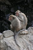 Two Monkeys. Are sitting peacefully on a rock together. In the background is  a dark cliff Stock Photography