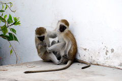 Two monkeys sitting and play. Stock Photo