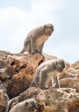 Two monkeys. Royalty Free Stock Photo