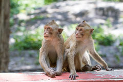The two monkeys Royalty Free Stock Photo