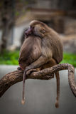 Two monkeys sleeping stock photo