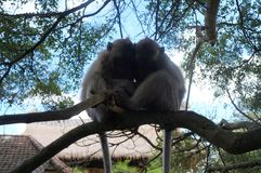 Two monkeys sleeping together on a branch stock image