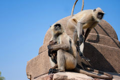 Two monkeys with a small cub jumping on an old stone wall Stock Photo