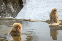 Two Monkeys In Snow Hot Springs stock photos