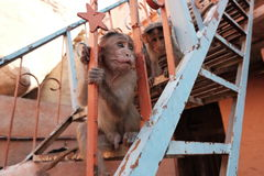 Two monkeys on stairs Stock Images