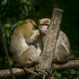Two monkeys taking care of another Royalty Free Stock Photo