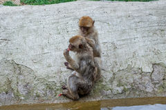 Two monkeys in the Tbilisi zoo, the world of animals Stock Image