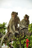 Two Monkeys on tree branch Stock Photography
