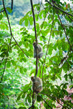 Two monkeys on the tree branch Royalty Free Stock Photo