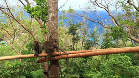 Two monkeys on tree in  forest. Two monkeys on tree in tropical forest stock footage