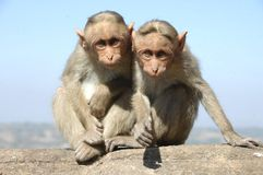 Two monkeys on a wall Royalty Free Stock Photo