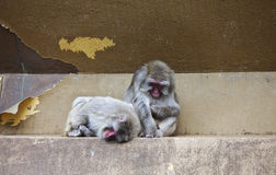 Two monkeys in zoo. Two monkeys resting on the wall at the zoo Stock Photo