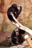 Two monkeys at  zoo. Royalty Free Stock Photos