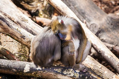 Two monkeys in Zoo Royalty Free Stock Photo