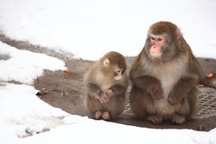 Two monkeys in zoo in winter Royalty Free Stock Image