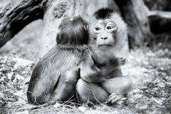 Two monkies hug each other Stock Photo