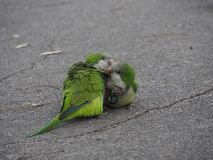 Two monkparrots on the Barcelona street stock images