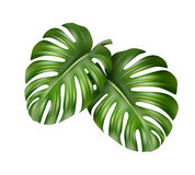 Two Monstera leaves Royalty Free Stock Photo