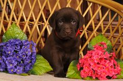 Two month labrador puppy portrait Stock Photo