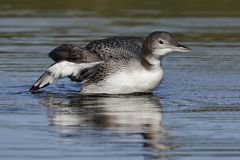 A two-month old Common Loon chick flaps its wings after preenin. A two-month old Common Loon chick Gavia immer flaps its wings after preening in late summer stock photo