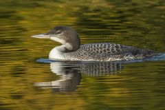A two-month old Common Loon chick and its reflection in late sum. A two-month old Common Loon chick Gavia immer and its reflection in the water in late summer stock images