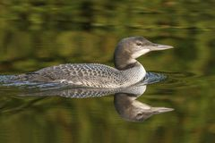 A two-month old Common Loon chick and its reflection in late sum. A two-month old Common Loon chick Gavia immer and its reflection in the water in late summer royalty free stock photos