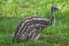 Two-month-old emu (Dromaius novaehollandiae). Royalty Free Stock Photos