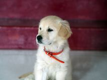 Two-month-old Golden Retriever ponders her next foolishness stock images