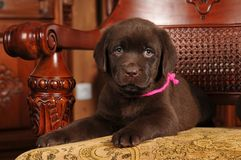 Two month old labrador puppy portrait Royalty Free Stock Photos