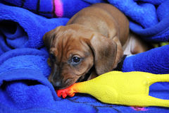 Two-month-old puppy red smooth-haired dachshund playing Royalty Free Stock Images