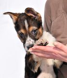 Two month old three coloured puppy in female hands. Looking at camera Royalty Free Stock Image