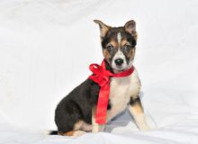 Two month old three puppy. Charming two month old three colour puppy with beautiful red bow looking at camera Royalty Free Stock Photography