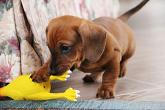 Two months old dachshund puppy smooth playing Royalty Free Stock Photos
