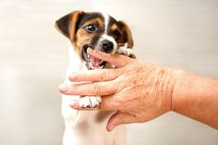 Two months old Jack Russell terrier puppy biting hand of old lad stock images