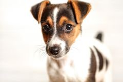 Two months old Jack Russell terrier puppy, studio shot with whit royalty free stock photo