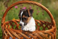 Two months old Jack Russell terrier puppy in wicker basket, mead stock images