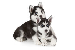 Two months old Siberian Husky puppies Stock Photos