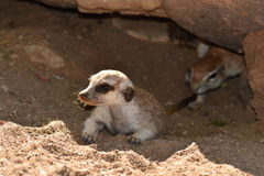 Two months old suricate in burrow with sqirrel Stock Photography