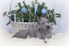 Two months old Thai ridgeback puppy with Christmas basket Stock Images