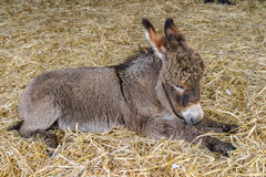 Two months old youn baby donkey foal resting on straw. Two months old young baby donkey foal resting on straw Royalty Free Stock Photos